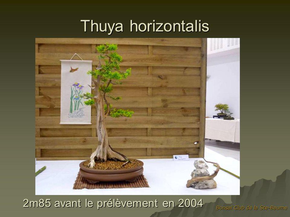 Bonsaï Club de la Ste-Baume Thuya horizontalis 2m85 avant le prélèvement en 2004