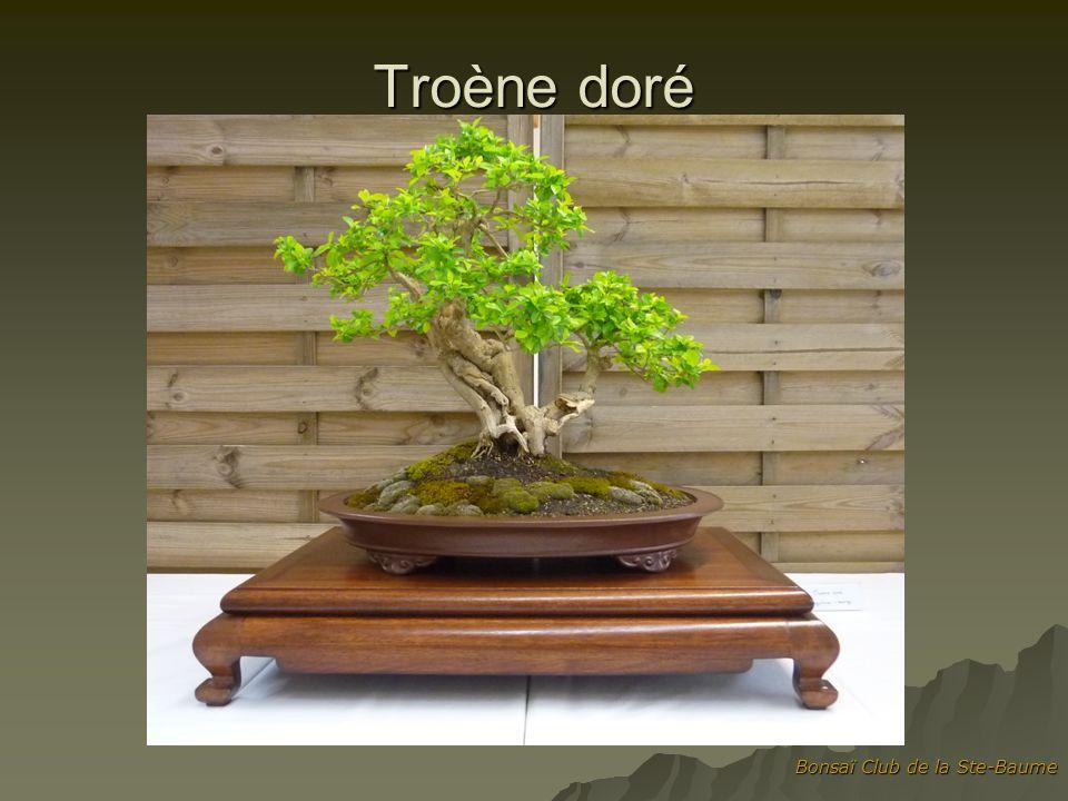 Bonsaï Club de la Ste-Baume Troène doré