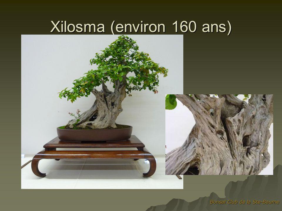 Bonsaï Club de la Ste-Baume Xilosma (environ 160 ans)
