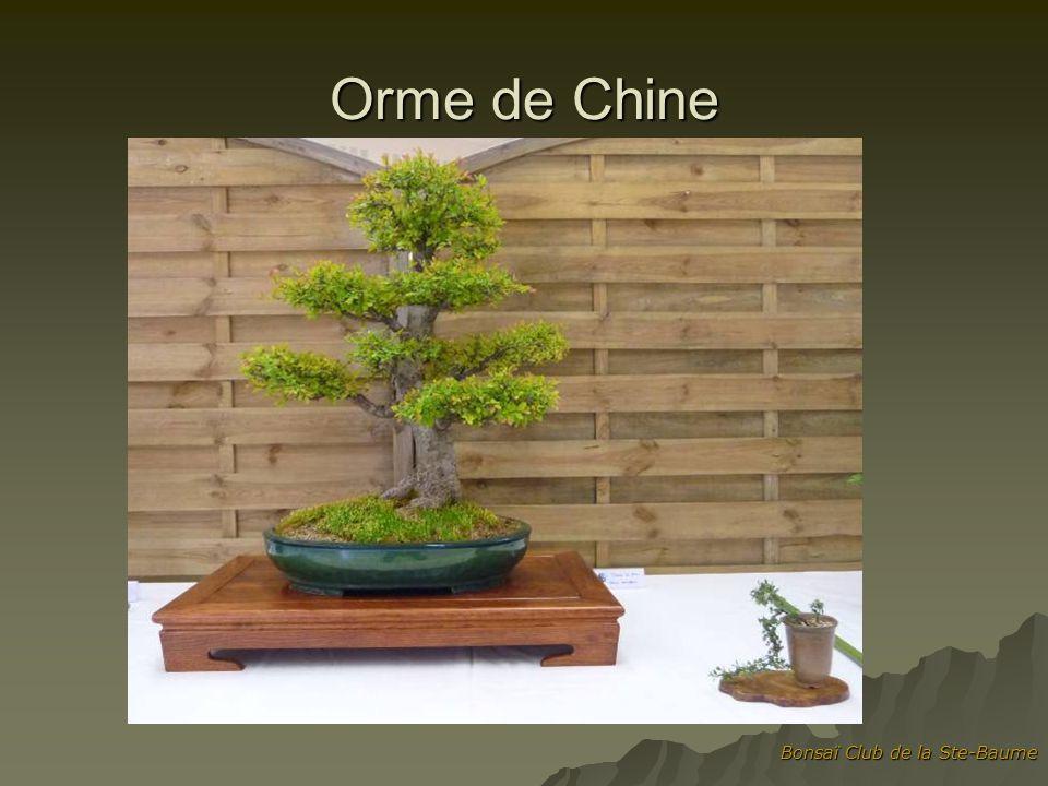 Bonsaï Club de la Ste-Baume Orme de Chine