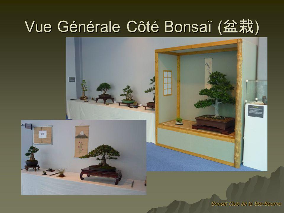 Bonsaï Club de la Ste-Baume Côté Suiseki ( ) Orme de Chine (hauteur 68cm, travaillé depuis 33 ans)