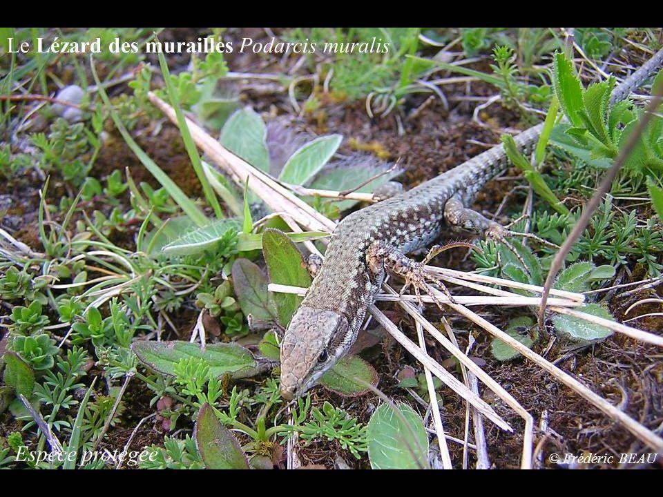 La Rainette méridionale Hyla meridionalis Espèce protégée © Frédéric BEAU