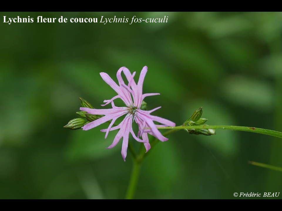 Lychnis fleur de coucou Lychnis fos-cuculi © Frédéric BEAU