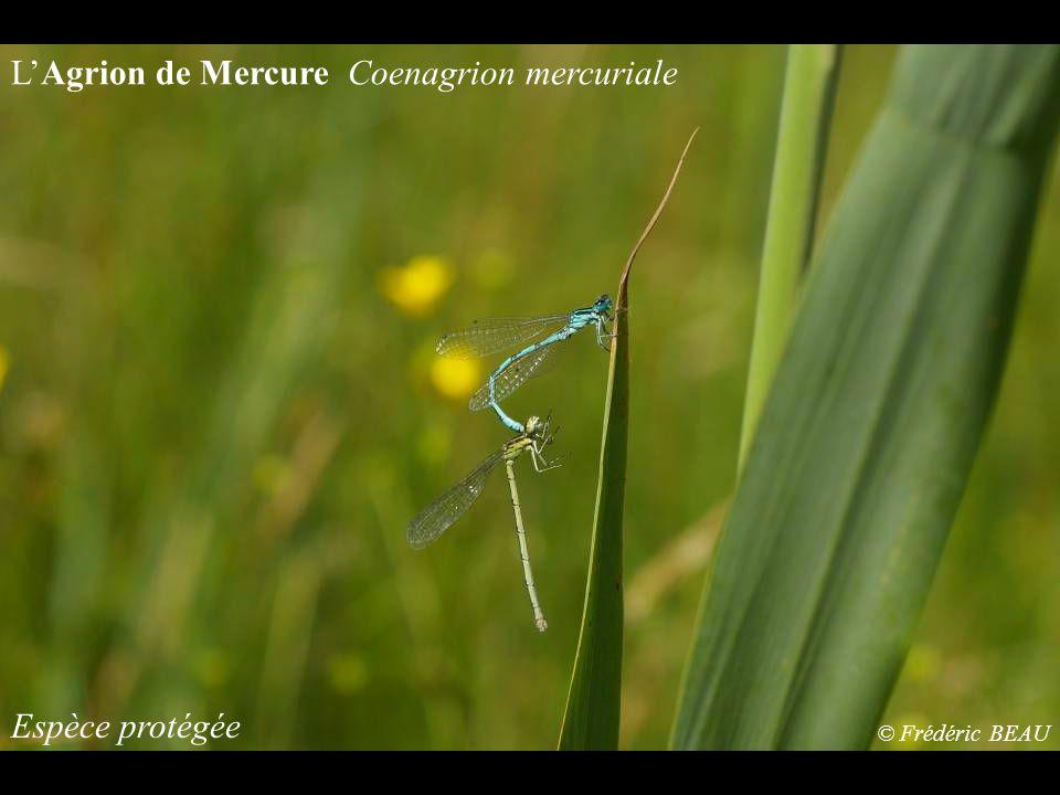 Espèce protégée LAgrion de Mercure Coenagrion mercuriale © Frédéric BEAU