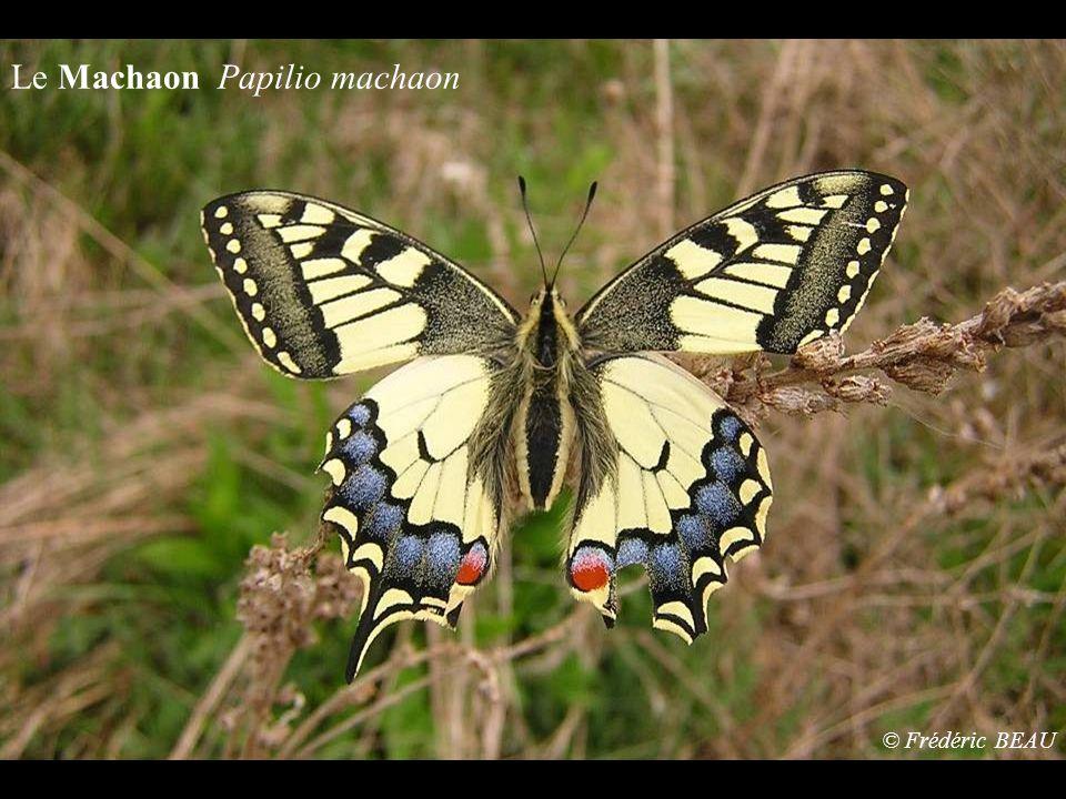 Le Machaon Papilio machaon © Frédéric BEAU