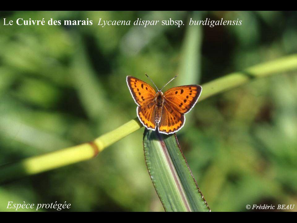 Le Cuivré des marais Lycaena dispar subsp. burdigalensis Espèce protégée © Frédéric BEAU