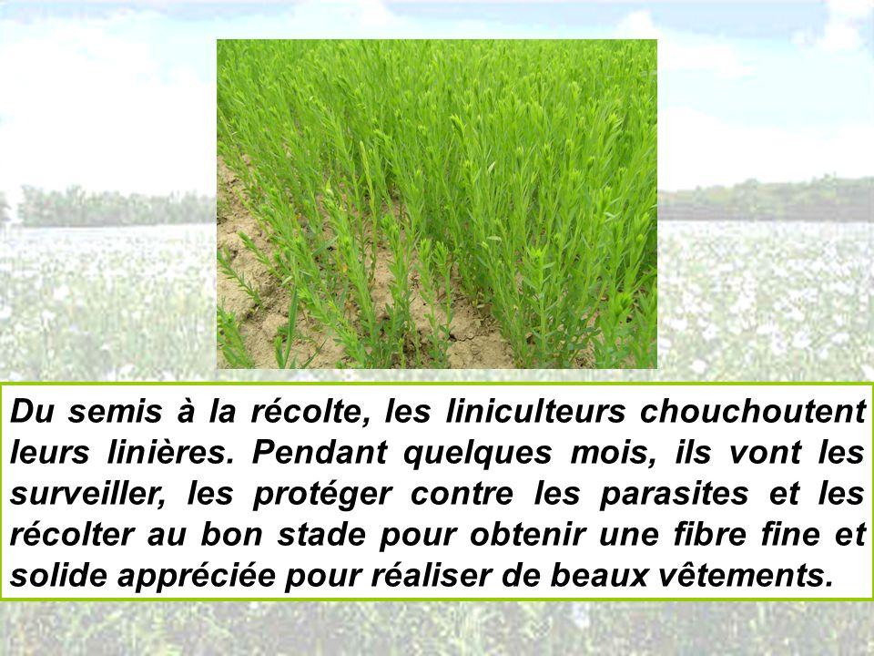 Du semis à la récolte, les liniculteurs chouchoutent leurs linières. Pendant quelques mois, ils vont les surveiller, les protéger contre les parasites