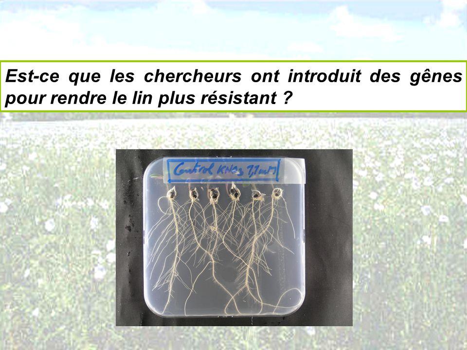 Est-ce que les chercheurs ont introduit des gênes pour rendre le lin plus résistant ?