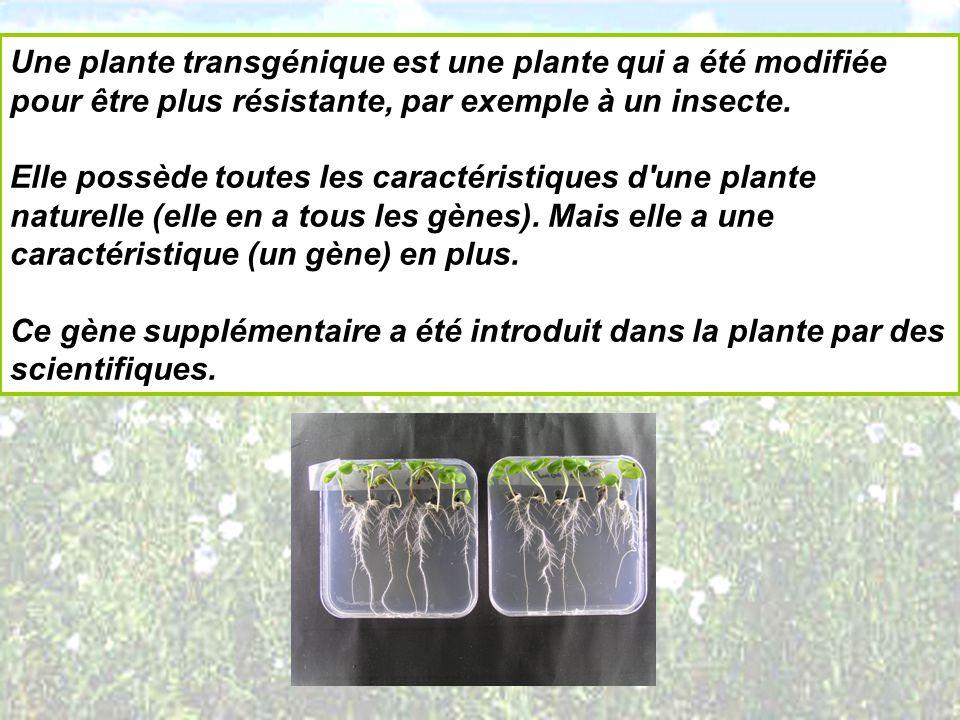 Une plante transgénique est une plante qui a été modifiée pour être plus résistante, par exemple à un insecte. Elle possède toutes les caractéristique