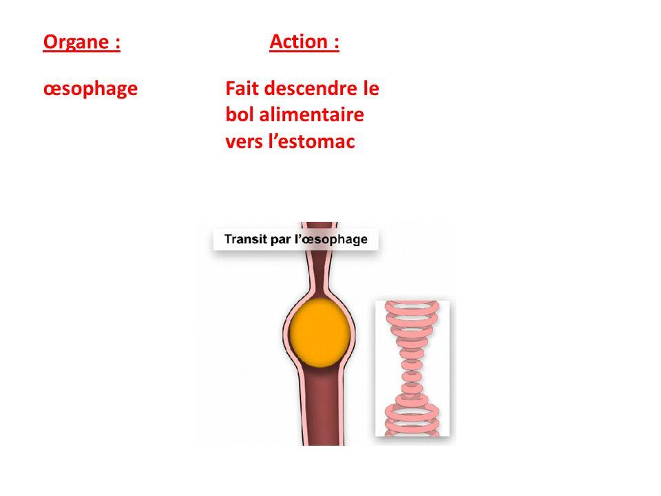 Organe : Action : Estomac Brasse les aliments qui deviennent liquide grâce aux acides