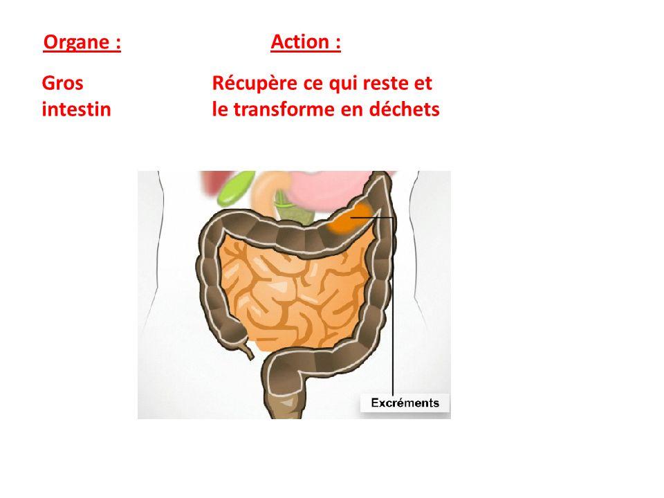 Organe : Action : Gros intestin Récupère ce qui reste et le transforme en déchets