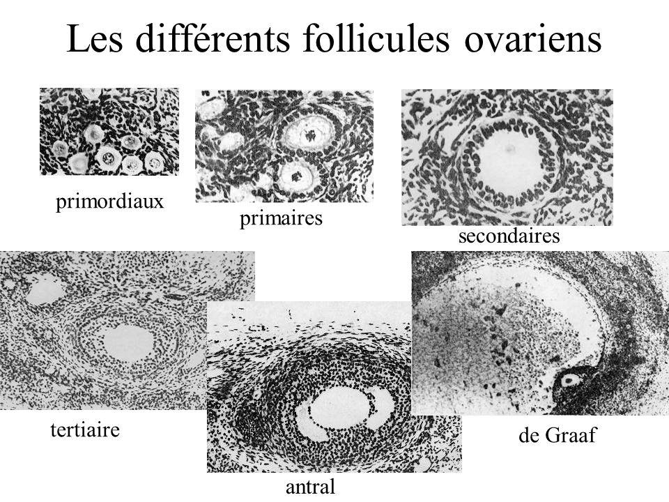 primordiaux primaires secondaires tertiaire antral de Graaf Les différents follicules ovariens