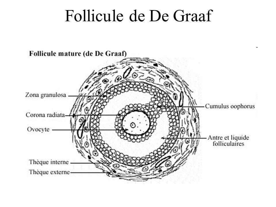 Follicule de De Graaf
