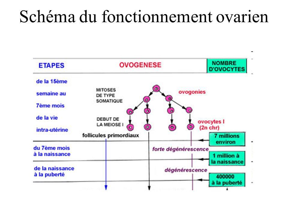 Schéma du fonctionnement ovarien