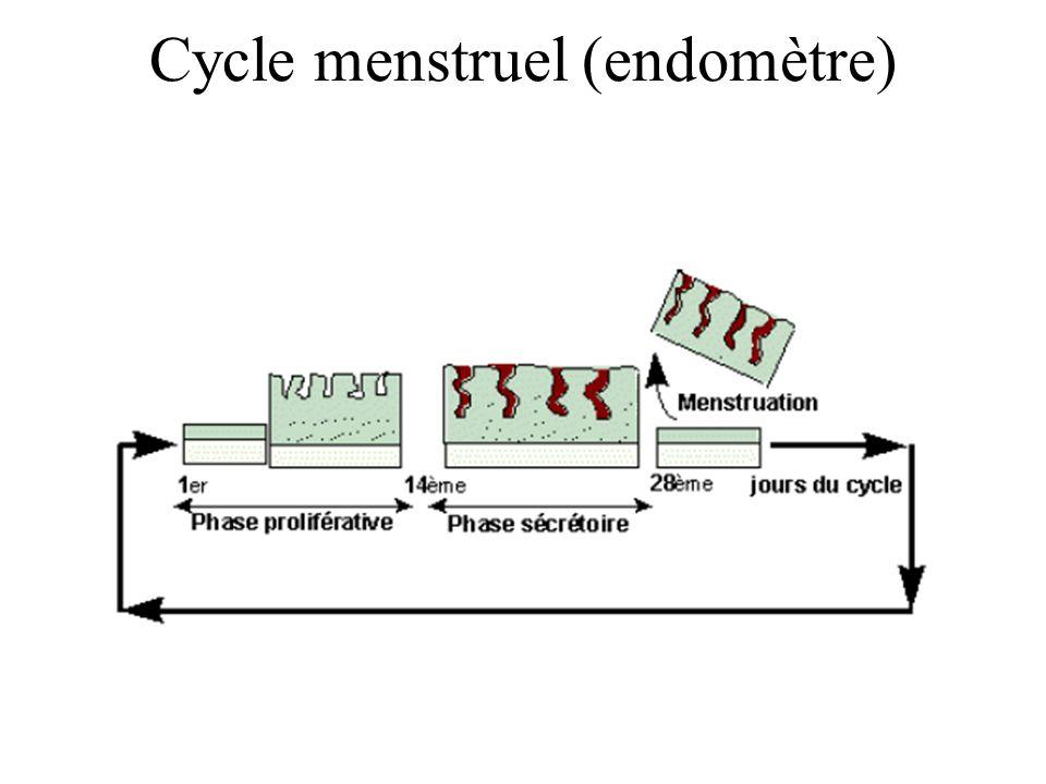 Cycle menstruel (endomètre)