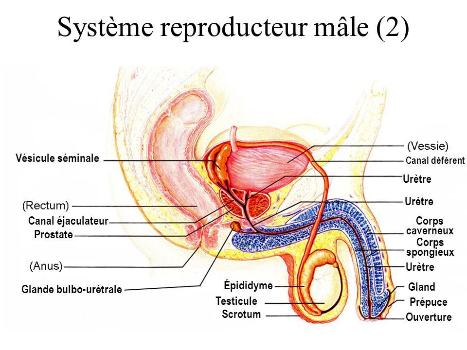 Système reproducteur mâle (2) Scrotum Canal déférent Prostate Vésicule séminale Ouverture Épididyme Glande bulbo-urétrale Corps caverneux Corps spongi
