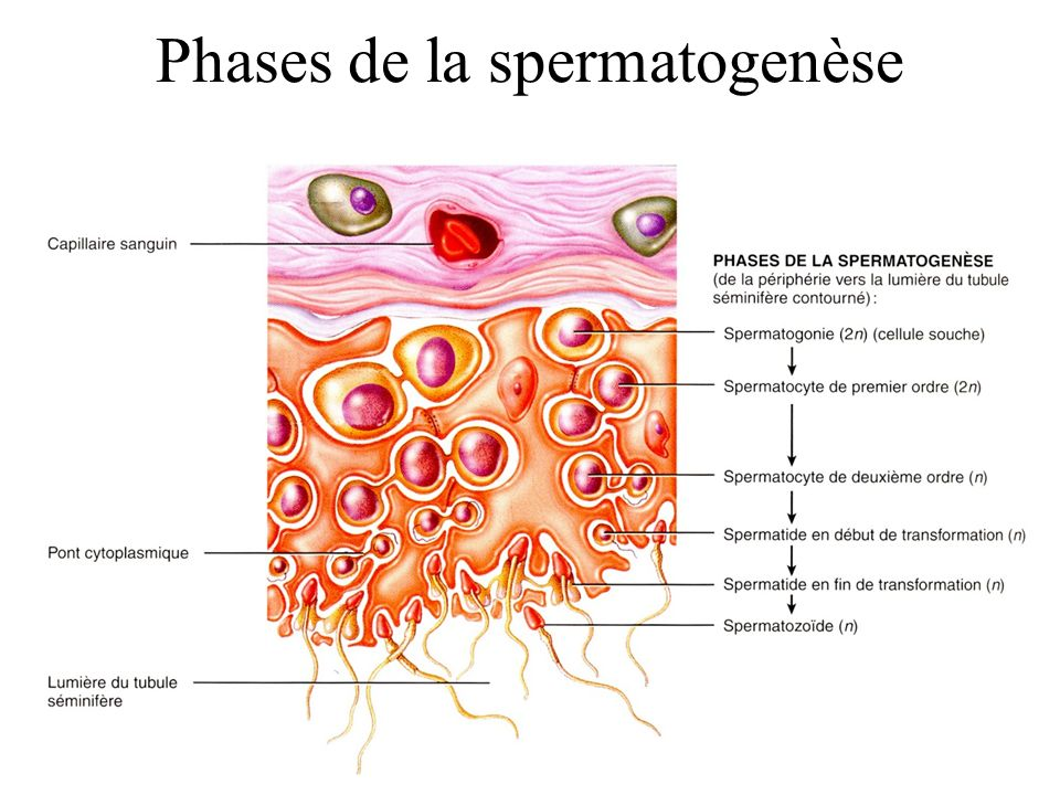 Phases de la spermatogenèse