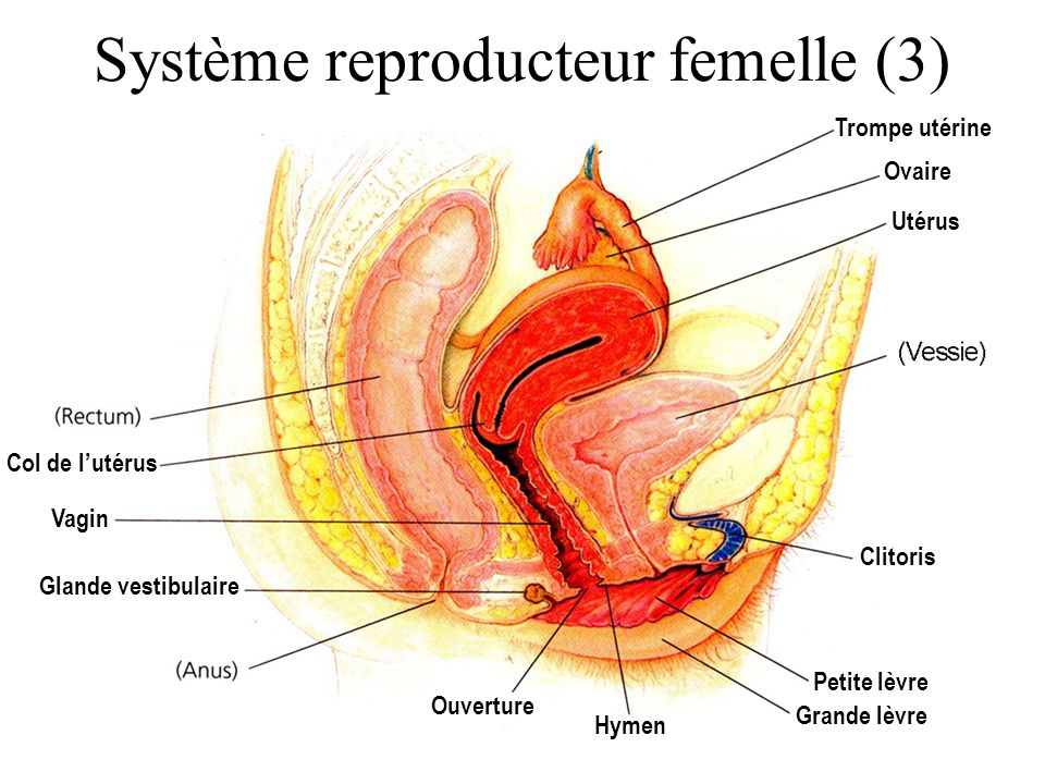 Trompe utérine Ouverture Vagin Utérus Ovaire Col de l'utérus Clitoris Glande vestibulaire Hymen Petite lèvre Grande lèvre Système reproducteur femelle