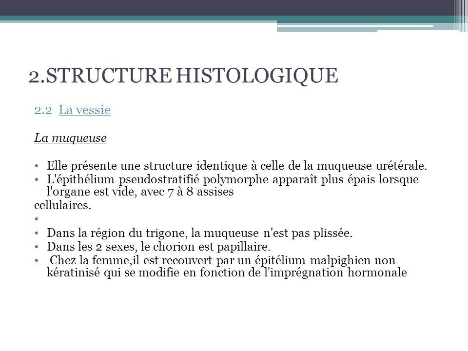 2.STRUCTURE HISTOLOGIQUE La musculeuse Le muscle vésical (detrusor) lisse Plexiforme très puissant.