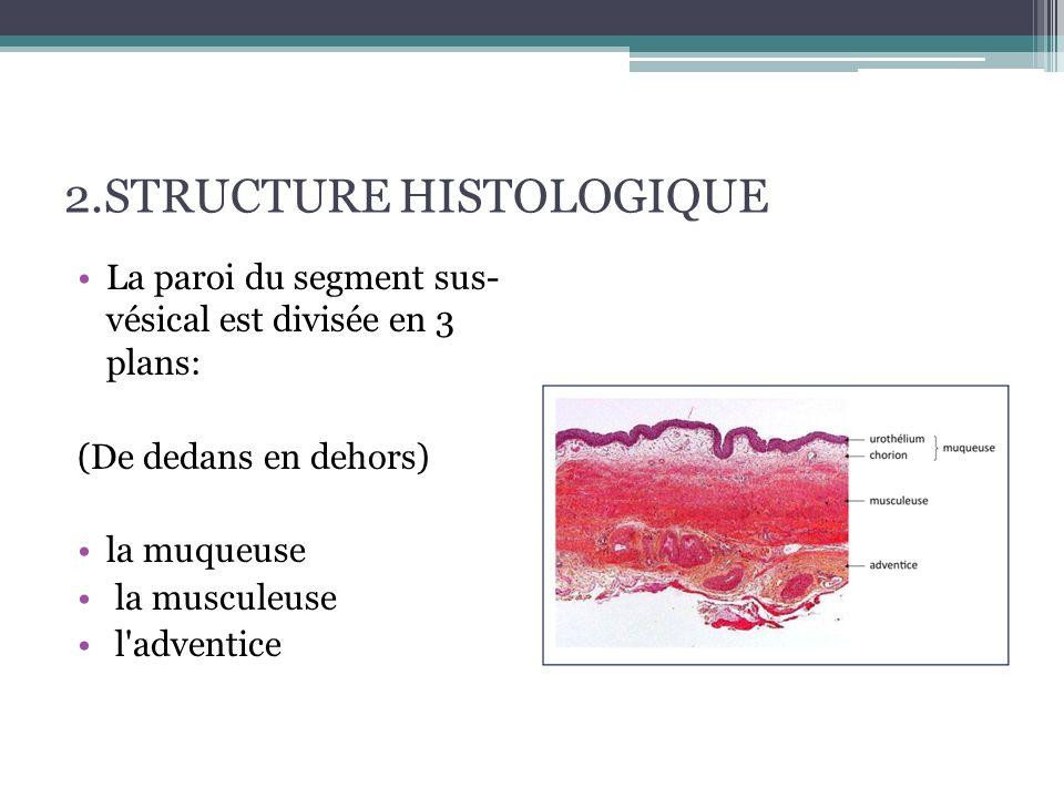 2.STRUCTURE HISTOLOGIQUE La muqueuse :  L'épithélium : il s'agit de l'urothélium, (épithélium de transition.) : pseudostratifé polymorphe.