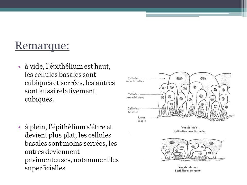 2.Structure histologique Le chorion dense, dépourvu de glandes riche en fibres élastiques.