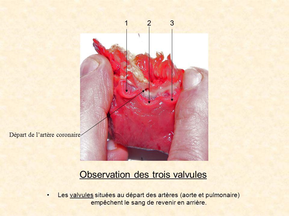 Observation des trois valvules 123 Départ de l'artère coronaire Les valvules situées au départ des artères (aorte et pulmonaire) empêchent le sang de