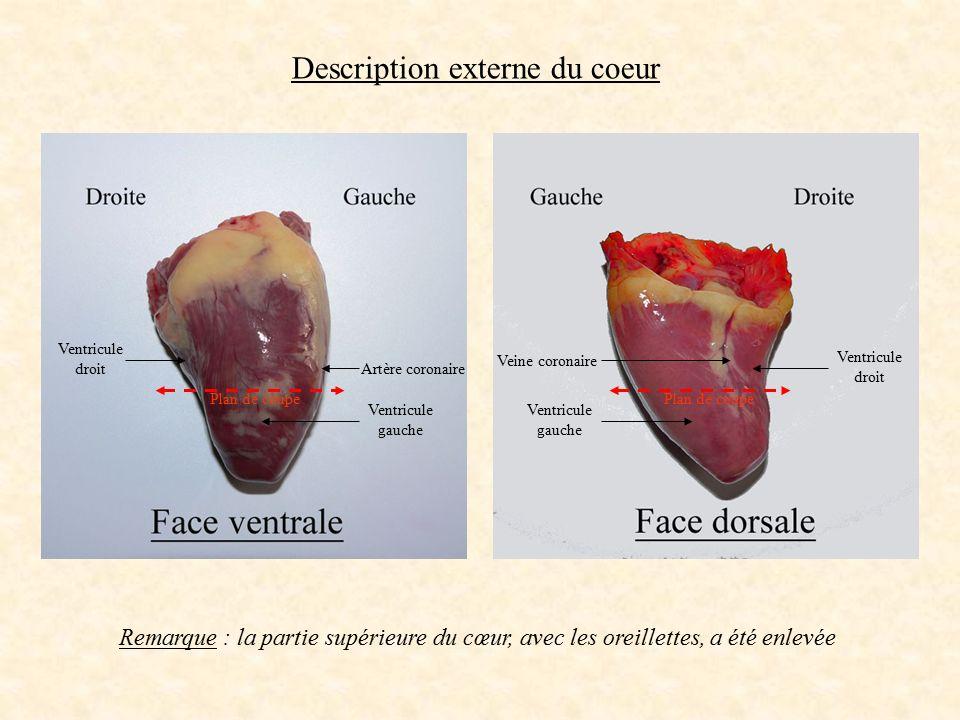 Artère coronaire Veine coronaire Ventricule droit Ventricule gauche Ventricule droit Description externe du coeur Remarque : la partie supérieure du c