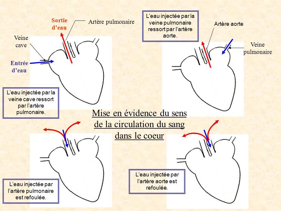 Mise en évidence du sens de la circulation du sang dans le coeur Artère pulmonaire Veine pulmonaire Entrée d'eau Sortie d'eau Veine cave L'eau injecté