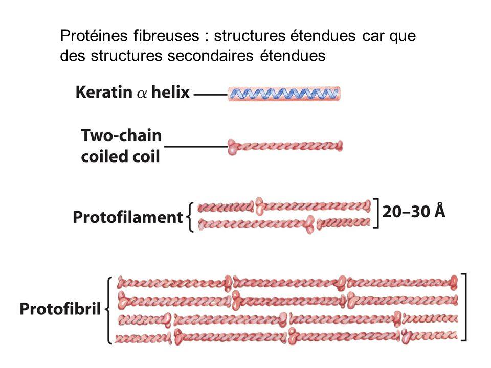 Protéines fibreuses : structures étendues car que des structures secondaires étendues