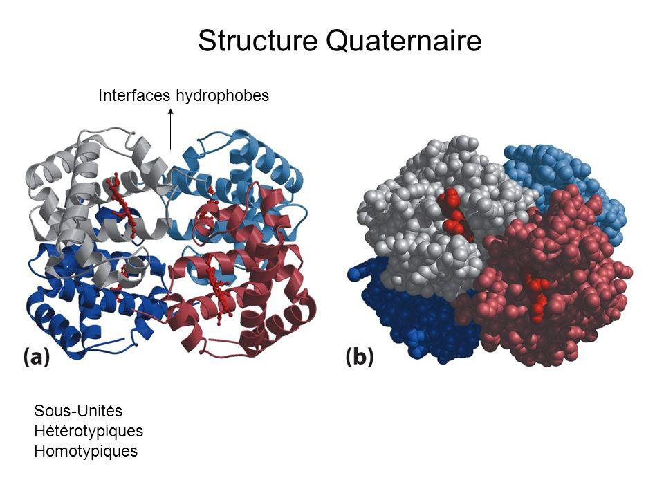 Structure Quaternaire Sous-Unités Hétérotypiques Homotypiques Interfaces hydrophobes