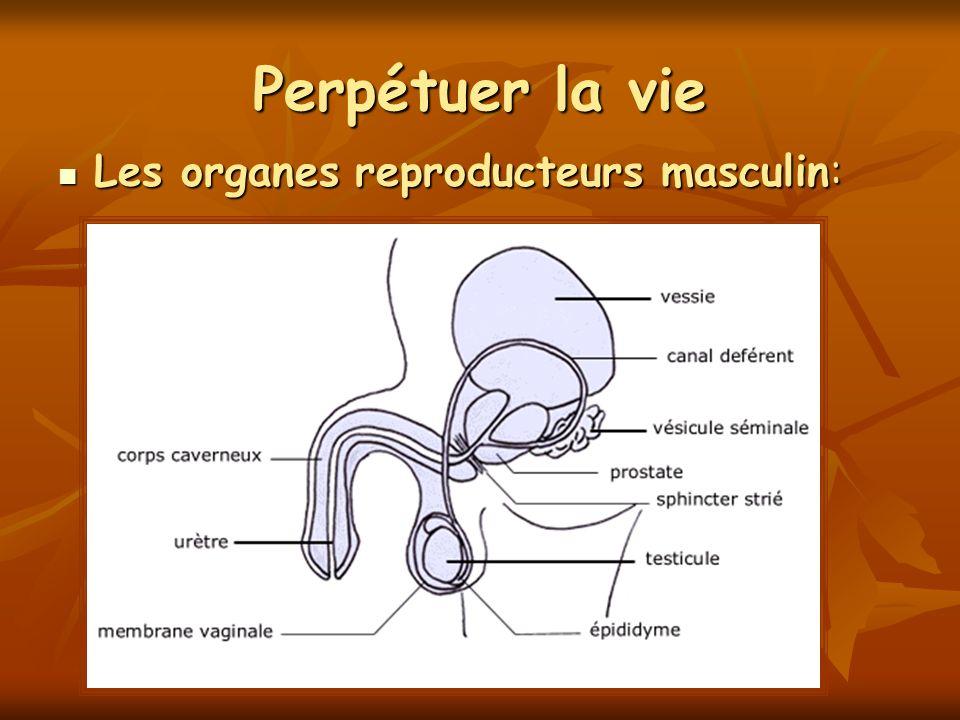 Perpétuer la vie Les organes reproducteurs masculin: Les organes reproducteurs masculin:
