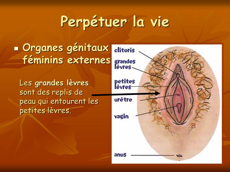 Perpétuer la vie Organes génitaux féminins externes Organes génitaux féminins externes Les grandes lèvres sont des replis de peau qui entourent les pe