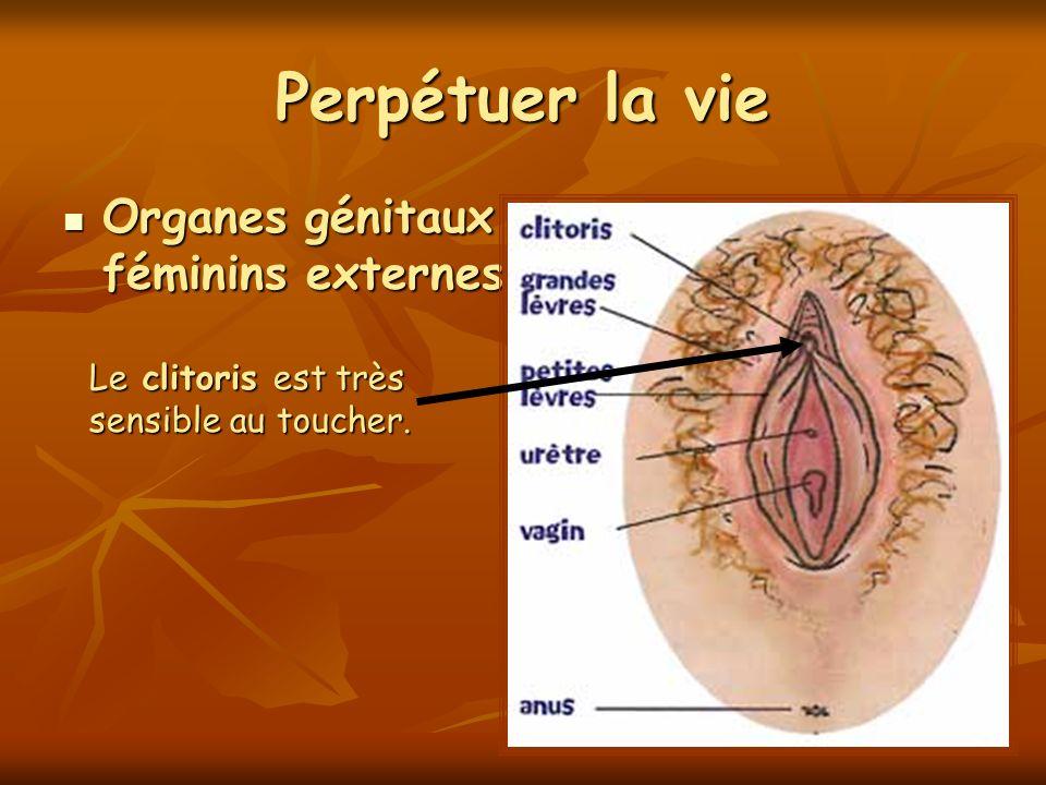 Perpétuer la vie Organes génitaux féminins externes Organes génitaux féminins externes Le clitoris est très sensible au toucher.