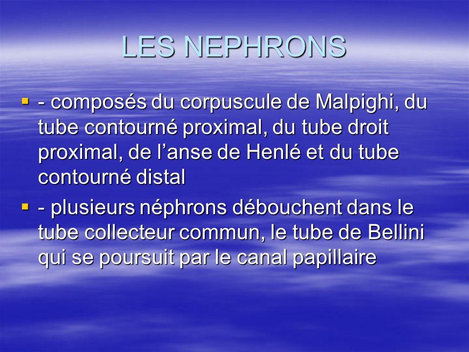 LES NEPHRONS  - composés du corpuscule de Malpighi, du tube contourné proximal, du tube droit proximal, de l'anse de Henlé et du tube contourné distal  - plusieurs néphrons débouchent dans le tube collecteur commun, le tube de Bellini qui se poursuit par le canal papillaire