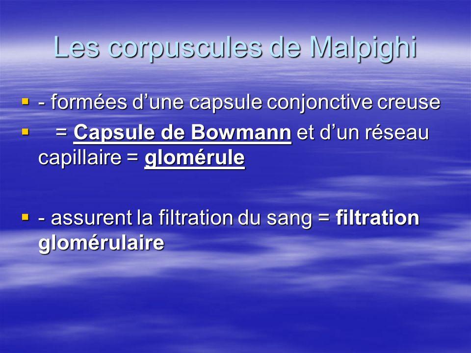 Les corpuscules de Malpighi  - formées d'une capsule conjonctive creuse  = Capsule de Bowmann et d'un réseau capillaire = glomérule  - assurent la filtration du sang = filtration glomérulaire