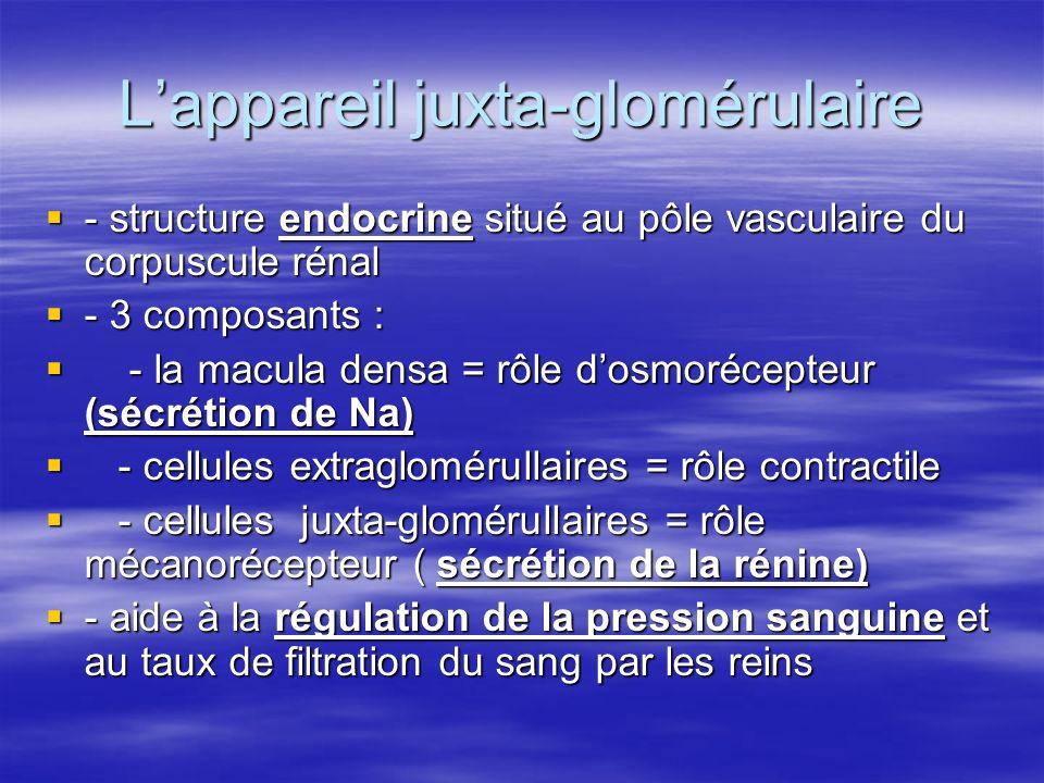 L'appareil juxta-glomérulaire  - structure endocrine situé au pôle vasculaire du corpuscule rénal  - 3 composants :  - la macula densa = rôle d'osmorécepteur (sécrétion de Na)  - cellules extraglomérullaires = rôle contractile  - cellules juxta-glomérullaires = rôle mécanorécepteur ( sécrétion de la rénine)  - aide à la régulation de la pression sanguine et au taux de filtration du sang par les reins