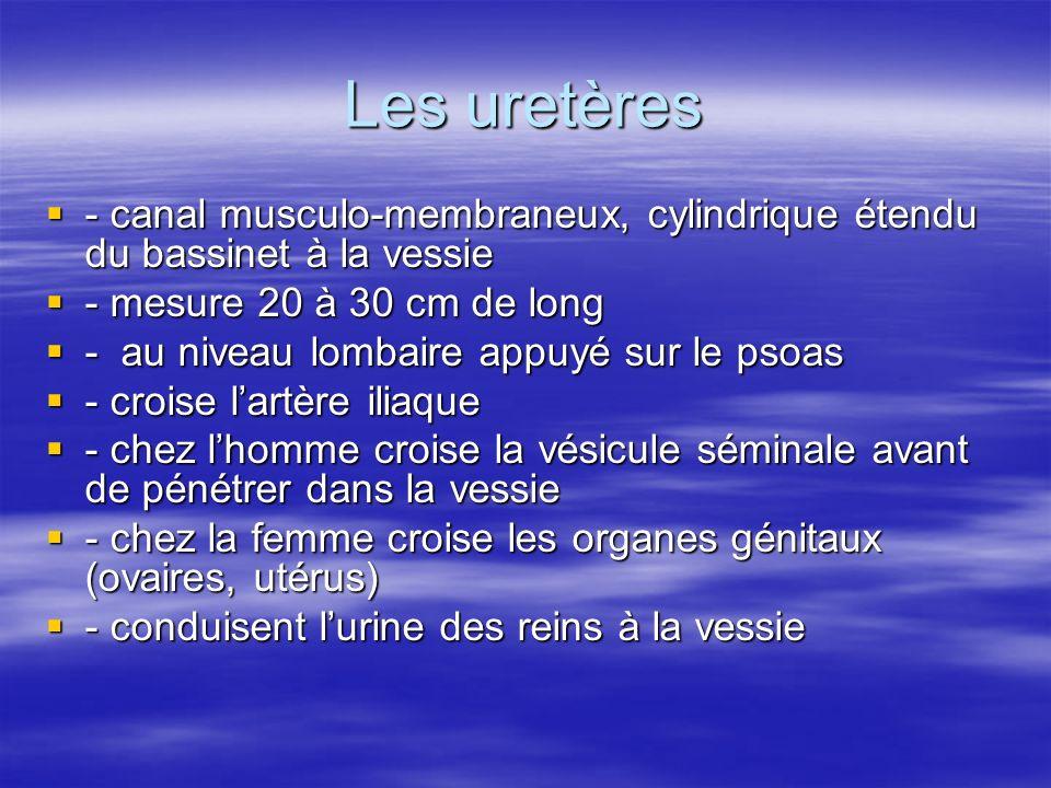 Les uretères  - canal musculo-membraneux, cylindrique étendu du bassinet à la vessie  - mesure 20 à 30 cm de long  - au niveau lombaire appuyé sur le psoas  - croise l'artère iliaque  - chez l'homme croise la vésicule séminale avant de pénétrer dans la vessie  - chez la femme croise les organes génitaux (ovaires, utérus)  - conduisent l'urine des reins à la vessie