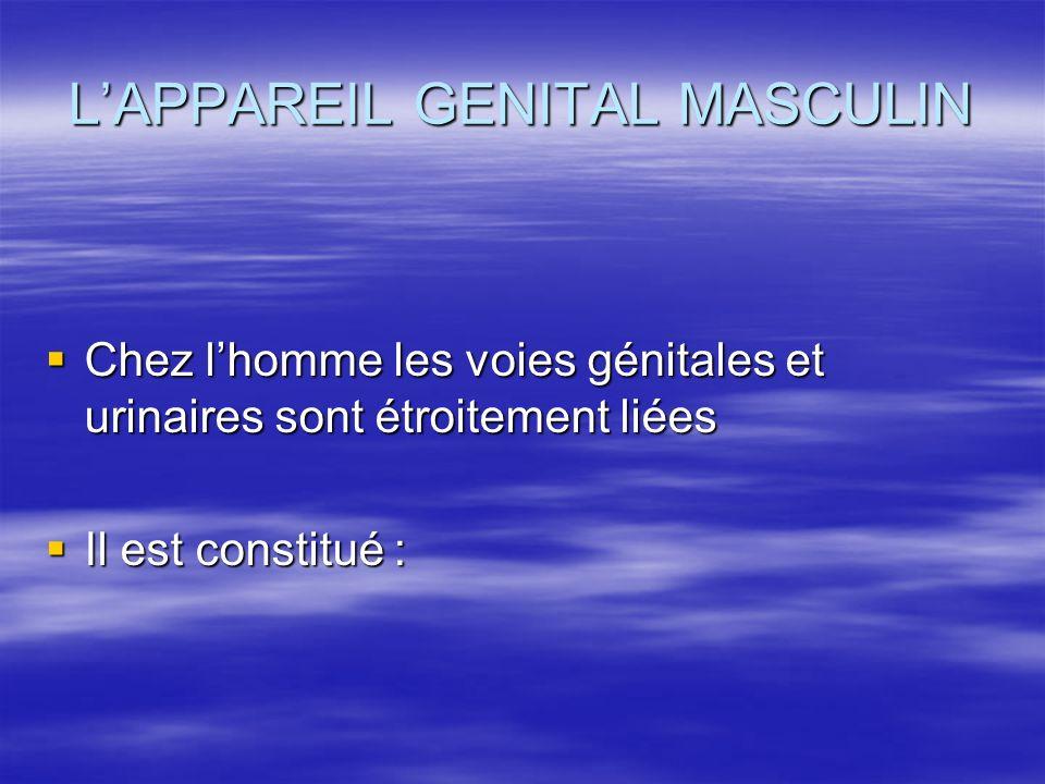 L'APPAREIL GENITAL MASCULIN  Chez l'homme les voies génitales et urinaires sont étroitement liées  Il est constitué :