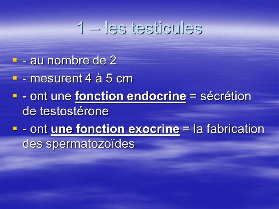 1 – les testicules  - au nombre de 2  - mesurent 4 à 5 cm  - ont une fonction endocrine = sécrétion de testostérone  - ont une fonction exocrine = la fabrication des spermatozoïdes
