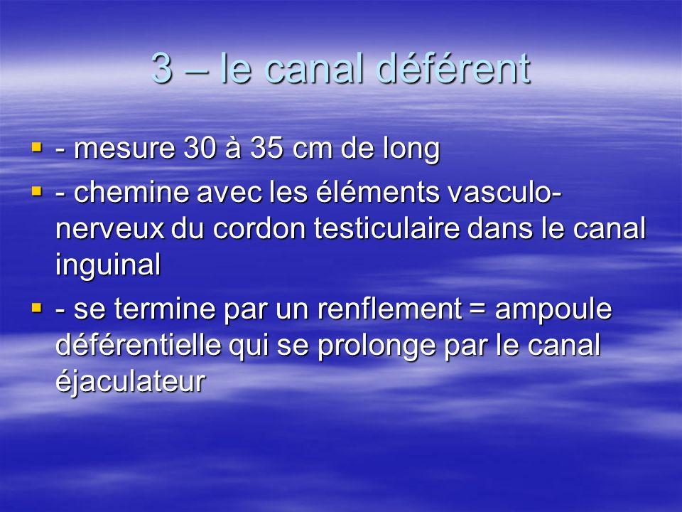3 – le canal déférent  - mesure 30 à 35 cm de long  - chemine avec les éléments vasculo- nerveux du cordon testiculaire dans le canal inguinal  - se termine par un renflement = ampoule déférentielle qui se prolonge par le canal éjaculateur