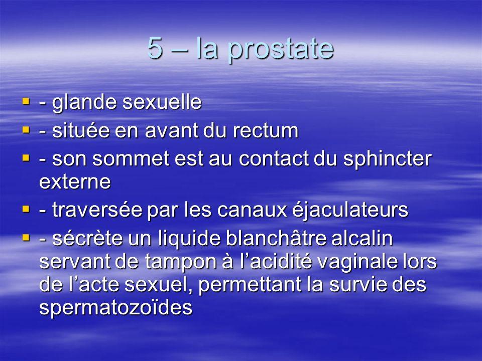 5 – la prostate  - glande sexuelle  - située en avant du rectum  - son sommet est au contact du sphincter externe  - traversée par les canaux éjaculateurs  - sécrète un liquide blanchâtre alcalin servant de tampon à l'acidité vaginale lors de l'acte sexuel, permettant la survie des spermatozoïdes