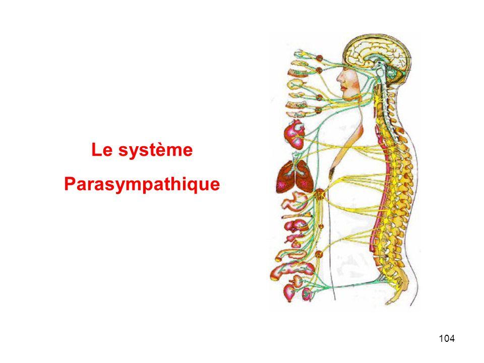 104 Le système Parasympathique