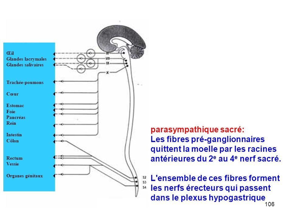 106 parasympathique sacré: Les fibres pré-ganglionnaires quittent la moelle par les racines antérieures du 2 e au 4 e nerf sacré.
