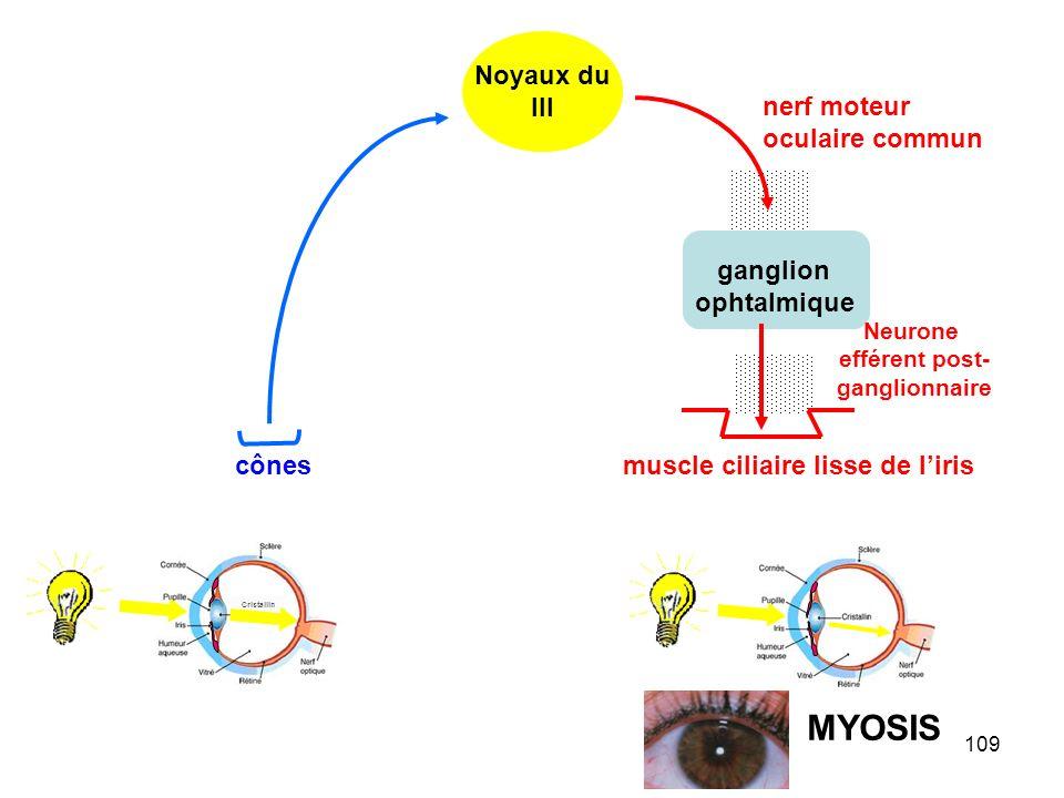 109 Cristallin ganglion ophtalmique nerf moteur oculaire commun Neurone efférent post- ganglionnaire Noyaux du III cônes muscle ciliaire lisse de l'iris MYOSIS