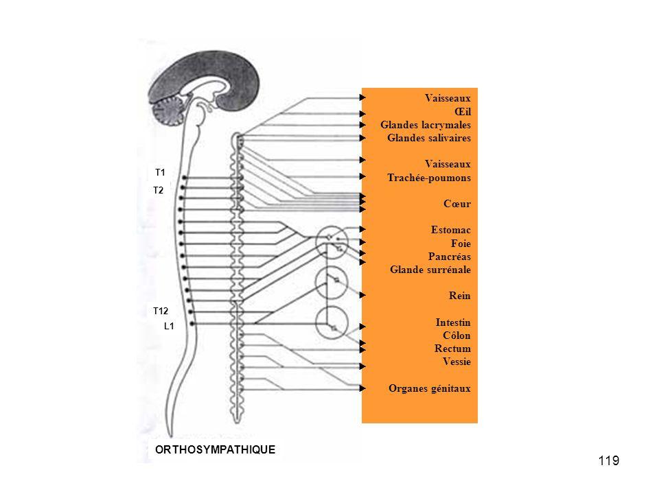 119 Vaisseaux Œil Glandes lacrymales Glandes salivaires Vaisseaux Trachée-poumons Cœur Estomac Foie Pancréas Glande surrénale Rein Intestin Côlon Rectum Vessie Organes génitaux                    T1 T2 T12 L1 ORTHOSYMPATHIQUE