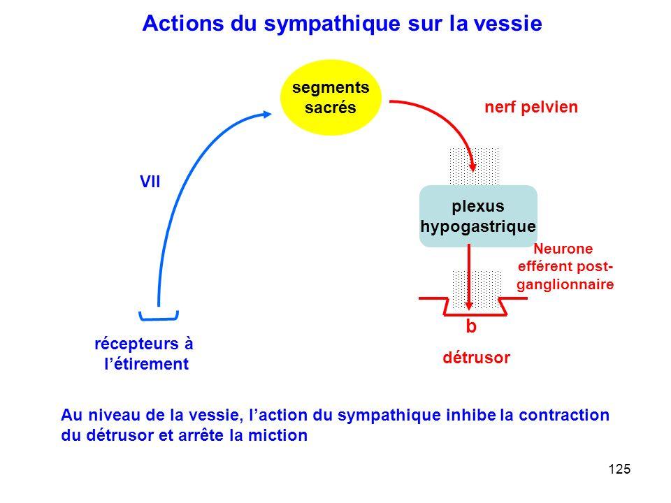125 plexus hypogastrique nerf pelvien Neurone efférent post- ganglionnaire segments sacrés détrusor VII récepteurs à l'étirement b Actions du sympathique sur la vessie Au niveau de la vessie, l'action du sympathique inhibe la contraction du détrusor et arrête la miction