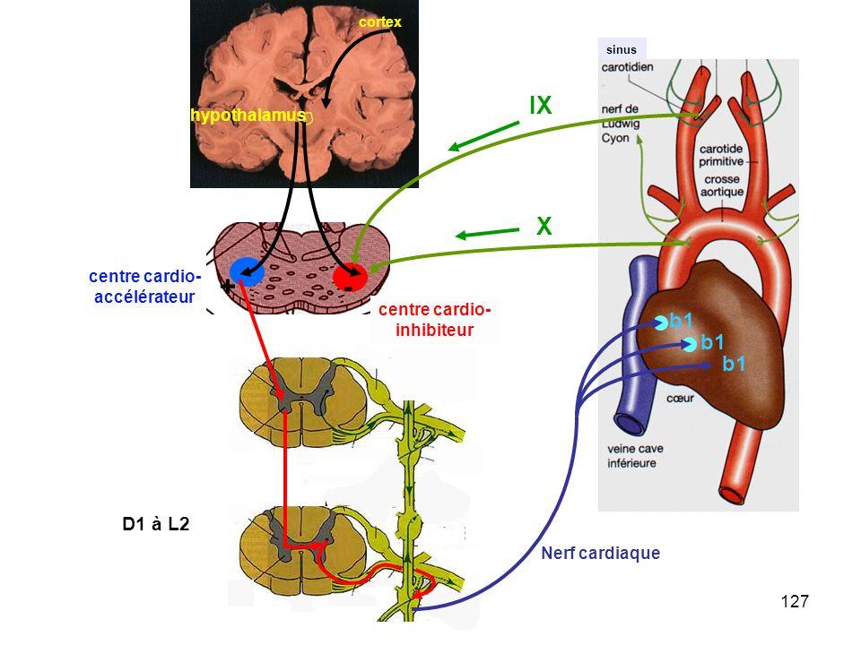 127 sinus X IX -+ centre cardio- accélérateur centre cardio- inhibiteur hypothalamus cortex b1 Nerf cardiaque D1 à L2