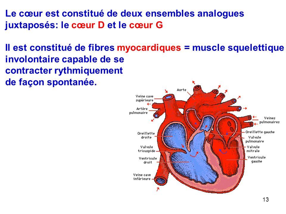 13 Le cœur est constitué de deux ensembles analogues juxtaposés: le cœur D et le cœur G Il est constitué de fibres myocardiques = muscle squelettique involontaire capable de se contracter rythmiquement de façon spontanée.
