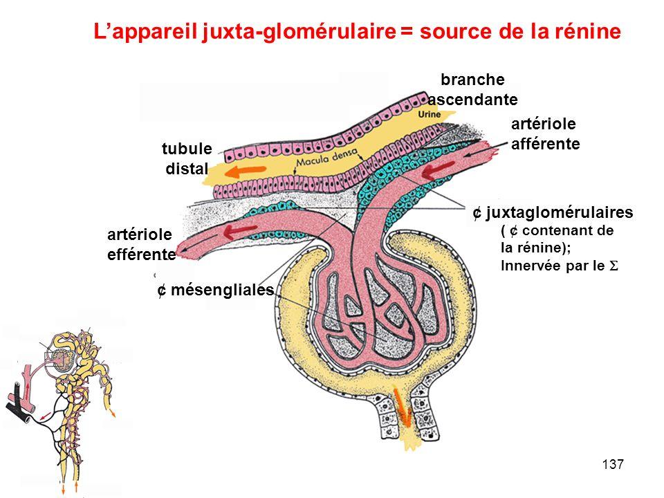 137 L'appareil juxta-glomérulaire = source de la rénine artériole afférente artériole efférente ¢ juxtaglomérulaires branche ascendante ¢ mésengliales tubule distal ( ¢ contenant de la rénine); Innervée par le 