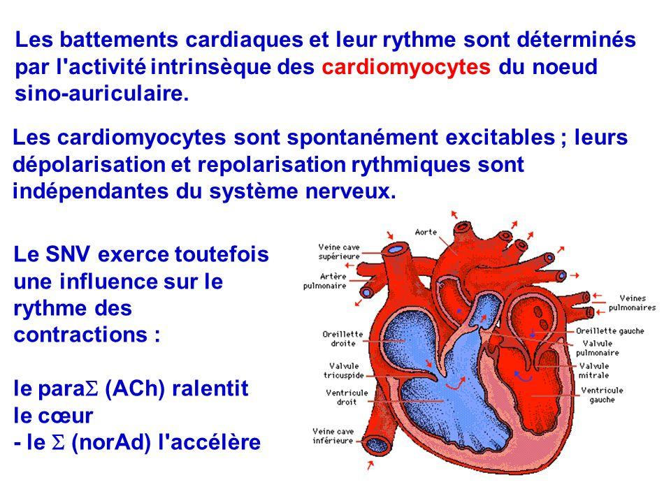 14 Les cardiomyocytes sont spontanément excitables ; leurs dépolarisation et repolarisation rythmiques sont indépendantes du système nerveux.